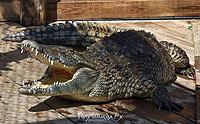 Крокодилы а Голубицкой