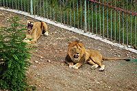 Сафари-парк в Геленджике. Львы