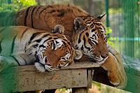 Сафари-парк в Геленджике. Кошки
