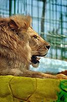 Сафари-парк в Геленджике. Лев