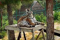 Сафари-парк в Геленджике. Тигр